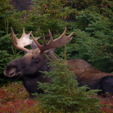 """Moose on Skyline Trail • <a style=""""font-size:0.8em;"""" href=""""http://www.flickr.com/photos/111317728@N08/32749342160/"""" target=""""_blank"""">View on Flickr</a>"""