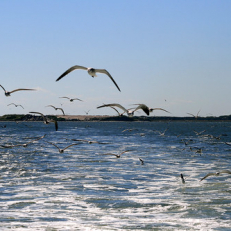 """Seagulls chasing the ferry • <a style=""""font-size:0.8em;"""" href=""""http://www.flickr.com/photos/111317728@N08/15452055939/"""" target=""""_blank"""">View on Flickr</a>"""